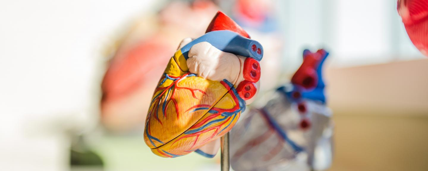 An anatomic model of the heart.